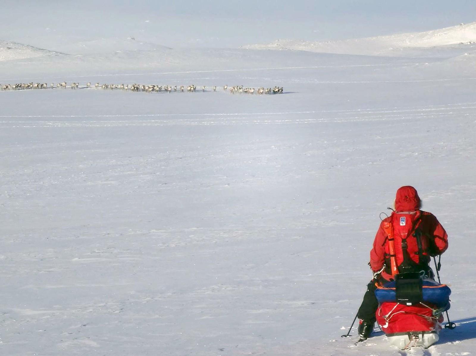 En stor reinflokk kom plutselig mot ekteparet på Hardangervidda. Da var det bare å slå seg ned og nyte synet.