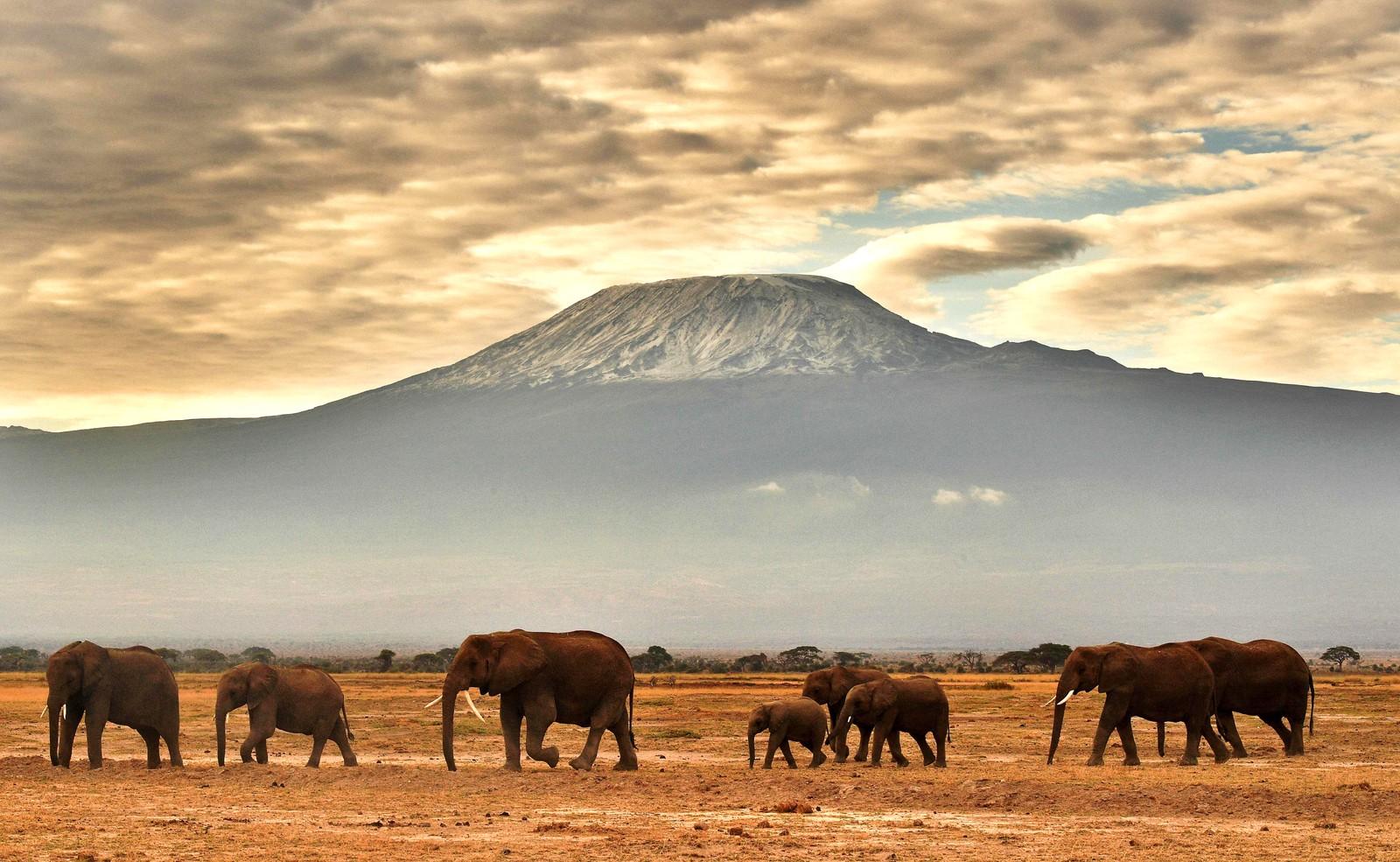Elefanter foran Kilimanjaro i Amboseli nasjonalpark i Kenya.
