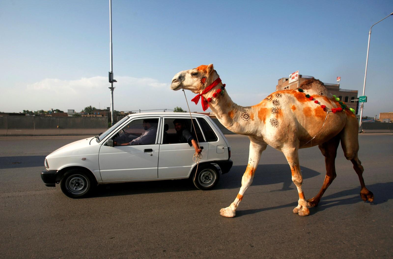 Varen må jo fraktes hjem etter handleturen. Disse mennene har kjøpt en kamel i Peshawar i Pakistan.