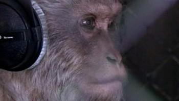 Ape med hodetelefoner