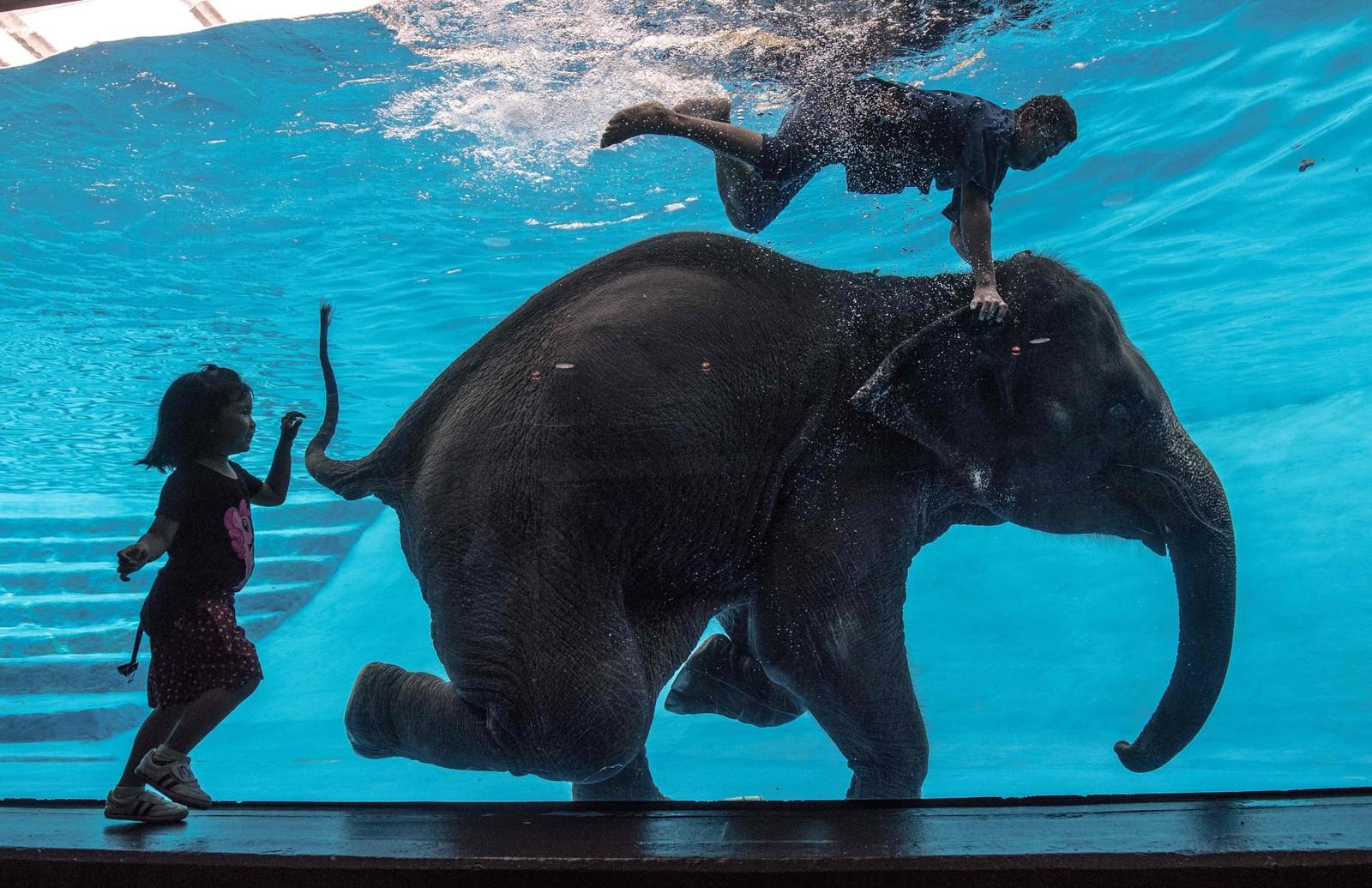 Elefanten i bassenget, åtte år gamle Saen Dao, opptrer i dyrehagen Khao Kheow Open Zoo i Chonburi sør for Bangkok.