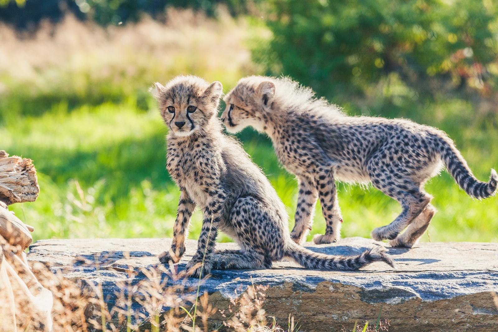 Gepardene i friluft