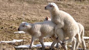 Lammene leker, klatrer og løper ute for første gang på Vinje, Bø i Vesterålen