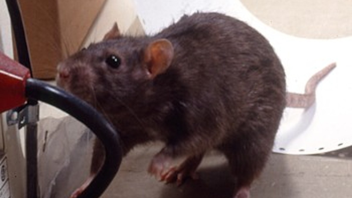 Forebygge mus