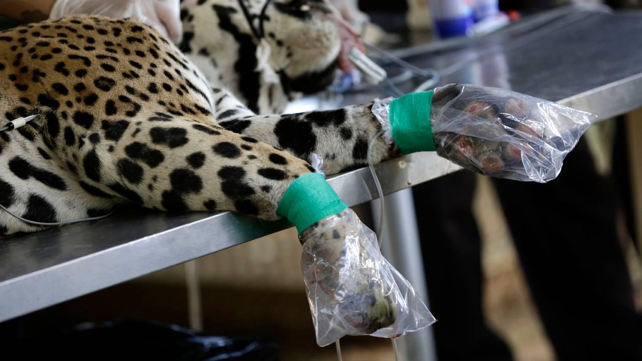 Jaguar brannskadet i Pantanal i Brasil.