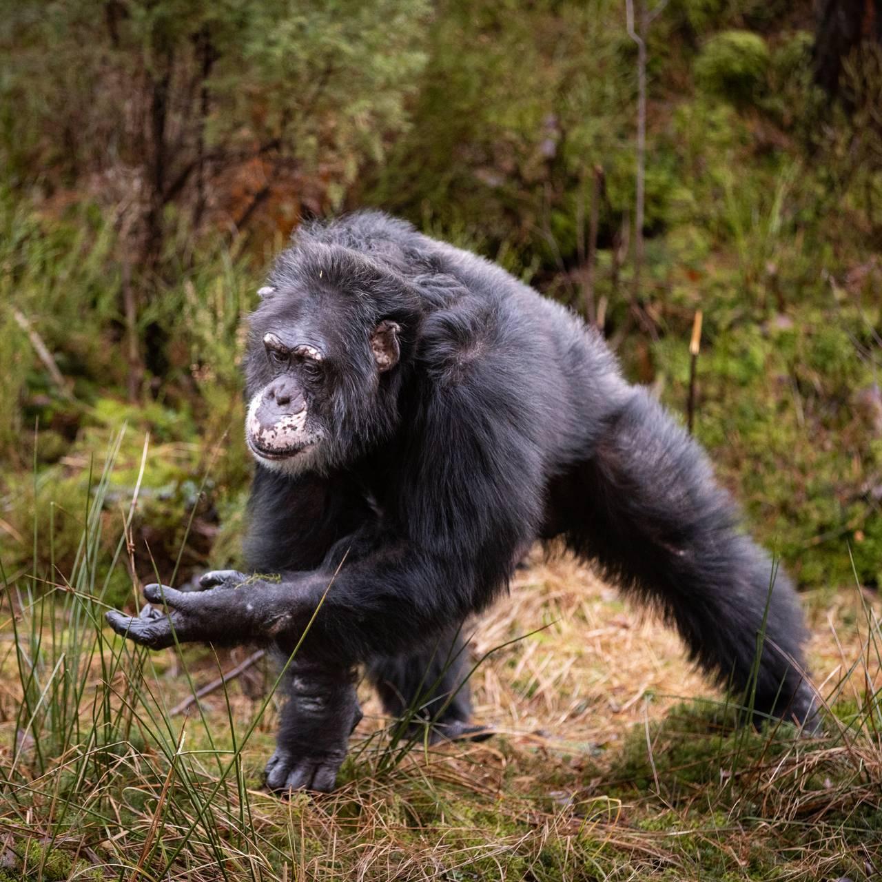 Sjimpansen Julius