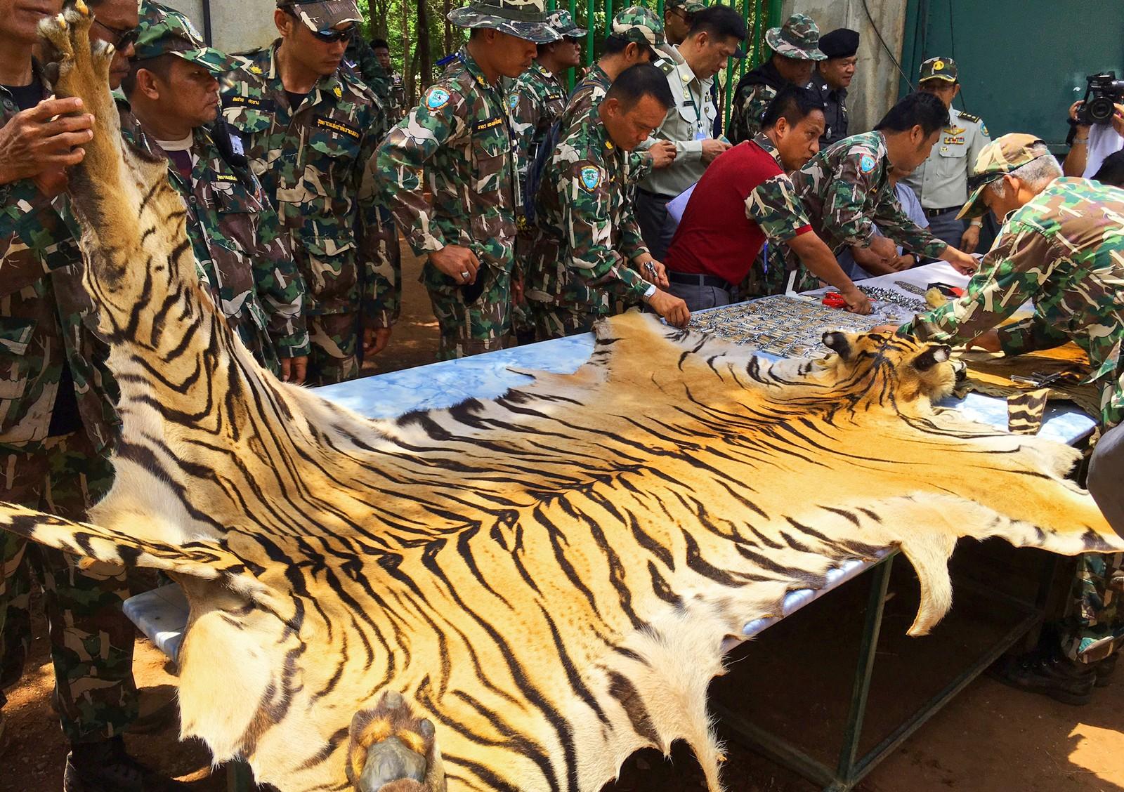 Et tigerskinn undersøkes av nasjonalpark- og dyrevoktere, 2. juni 2016. Thailandsk politi sier de stoppet en lastebil som fraktet to tigerskinn og andre deler av dyr idet de forsøkte å forlate templet. To ansatte ble pågrepet og siktet i saken.