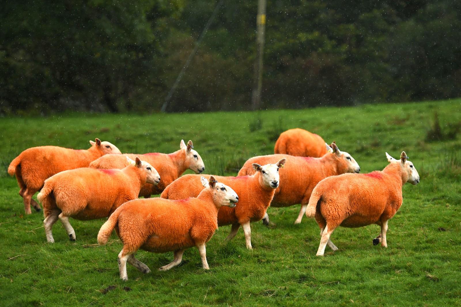 Den engelske bonden Pip Simpson fra Troutbeck har blitt frastjålet 300 sauer de fire siste årene. Derfor bestemte han seg for å farge 800 sauer for å unngå å miste flere av dem.