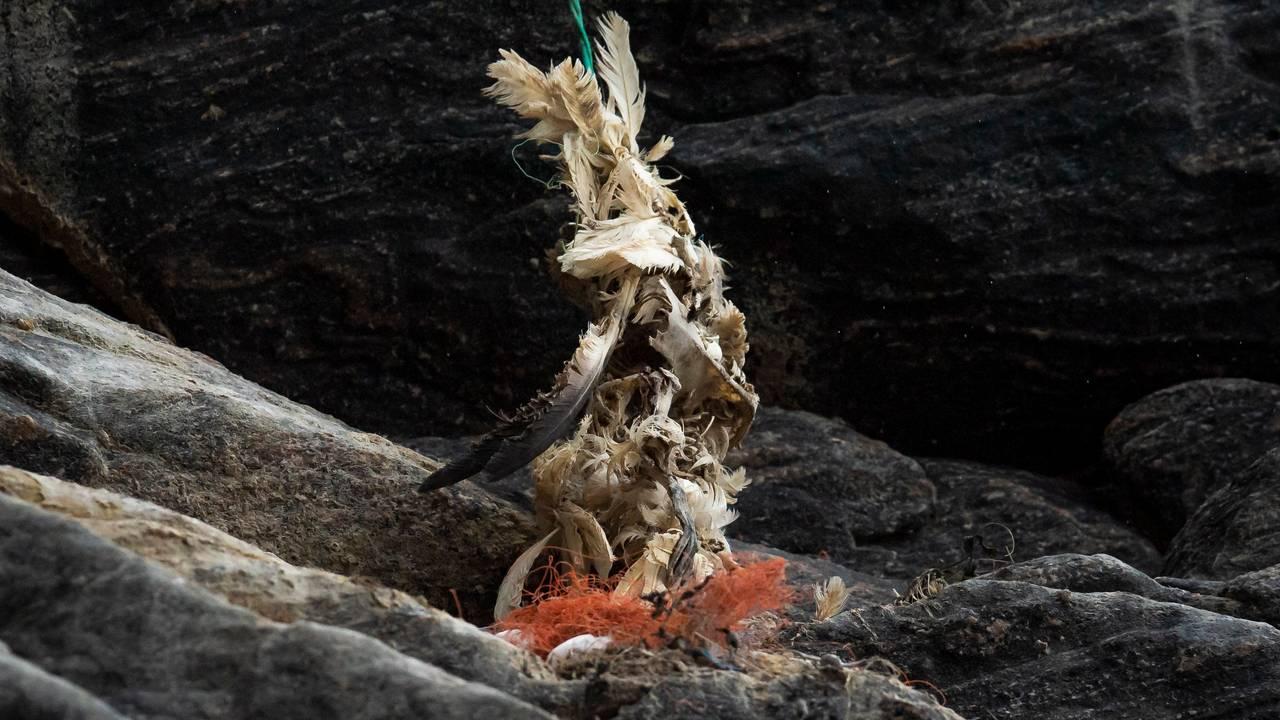 Død havsule på rundefuglefjell
