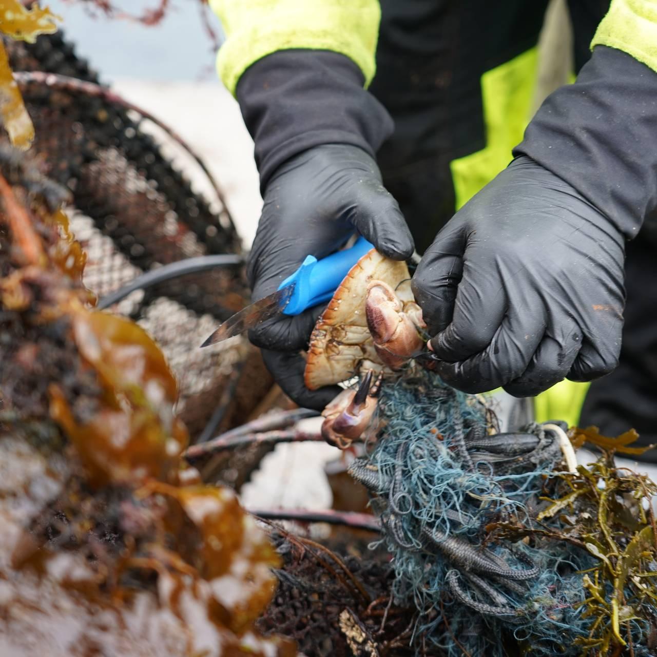 En krabbe har viklet seg fast i et gammel garn.