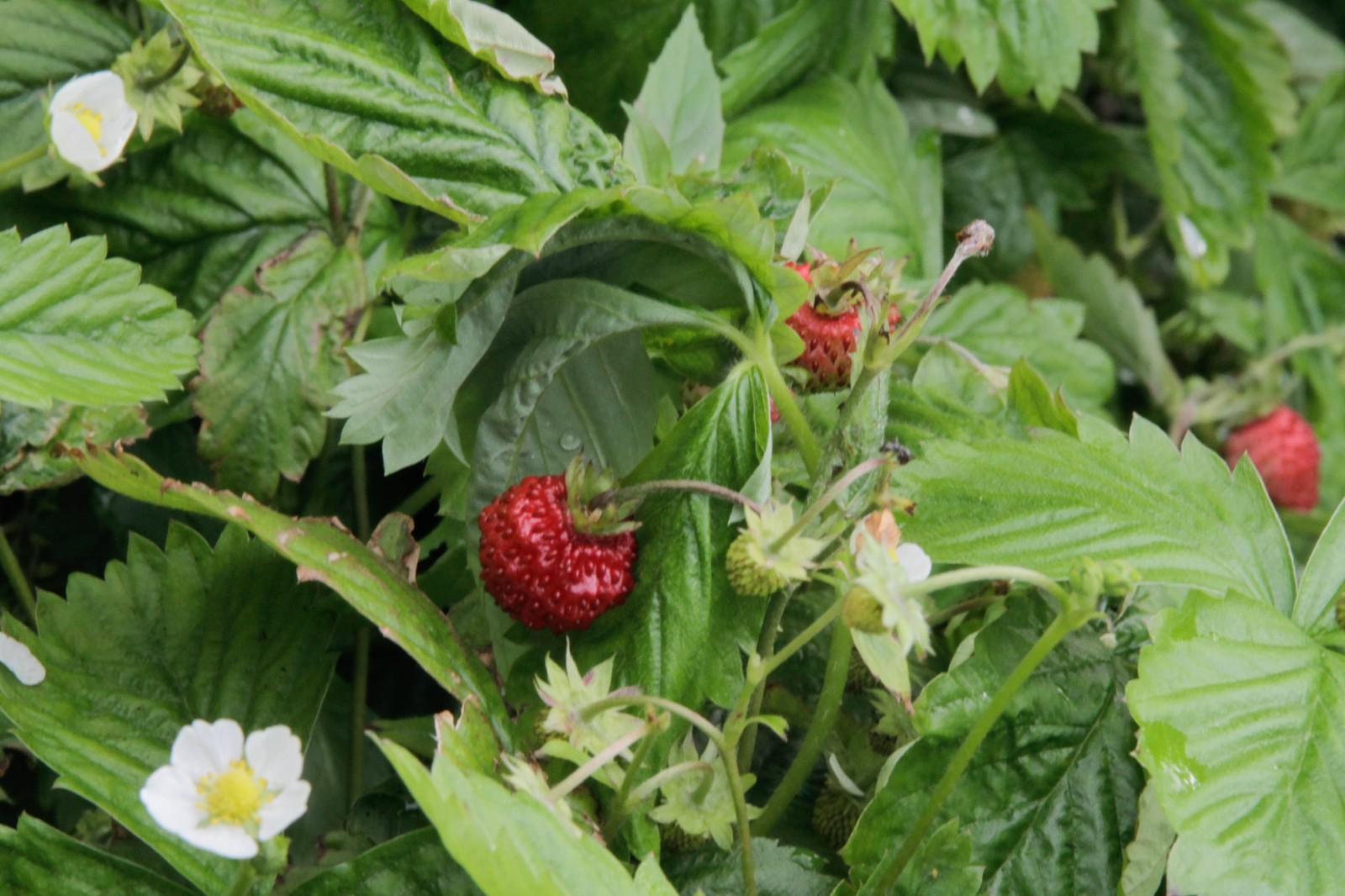 Eit lite markjordbær får representere frukta og grønsakene i hagen. Druerankene ber litt frukt, men dei grøne druene var for sure til å ete. - Det vart heller ein skvett vin, fortel Kjartan Godø.