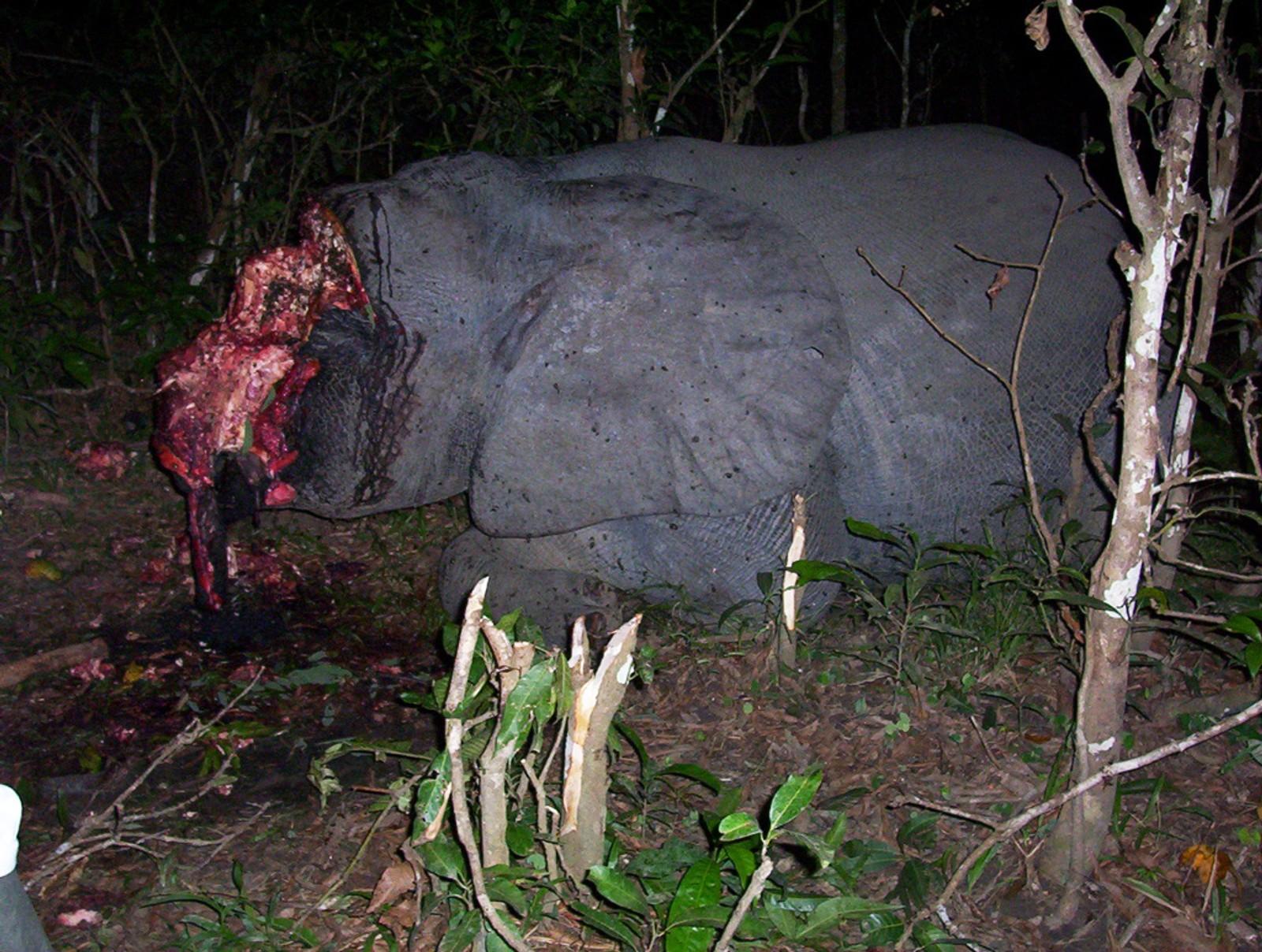 Elefant drept med giftpiler av krypskyttere som har tatt støttennene.