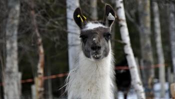 Lamaen Mats poserer villig