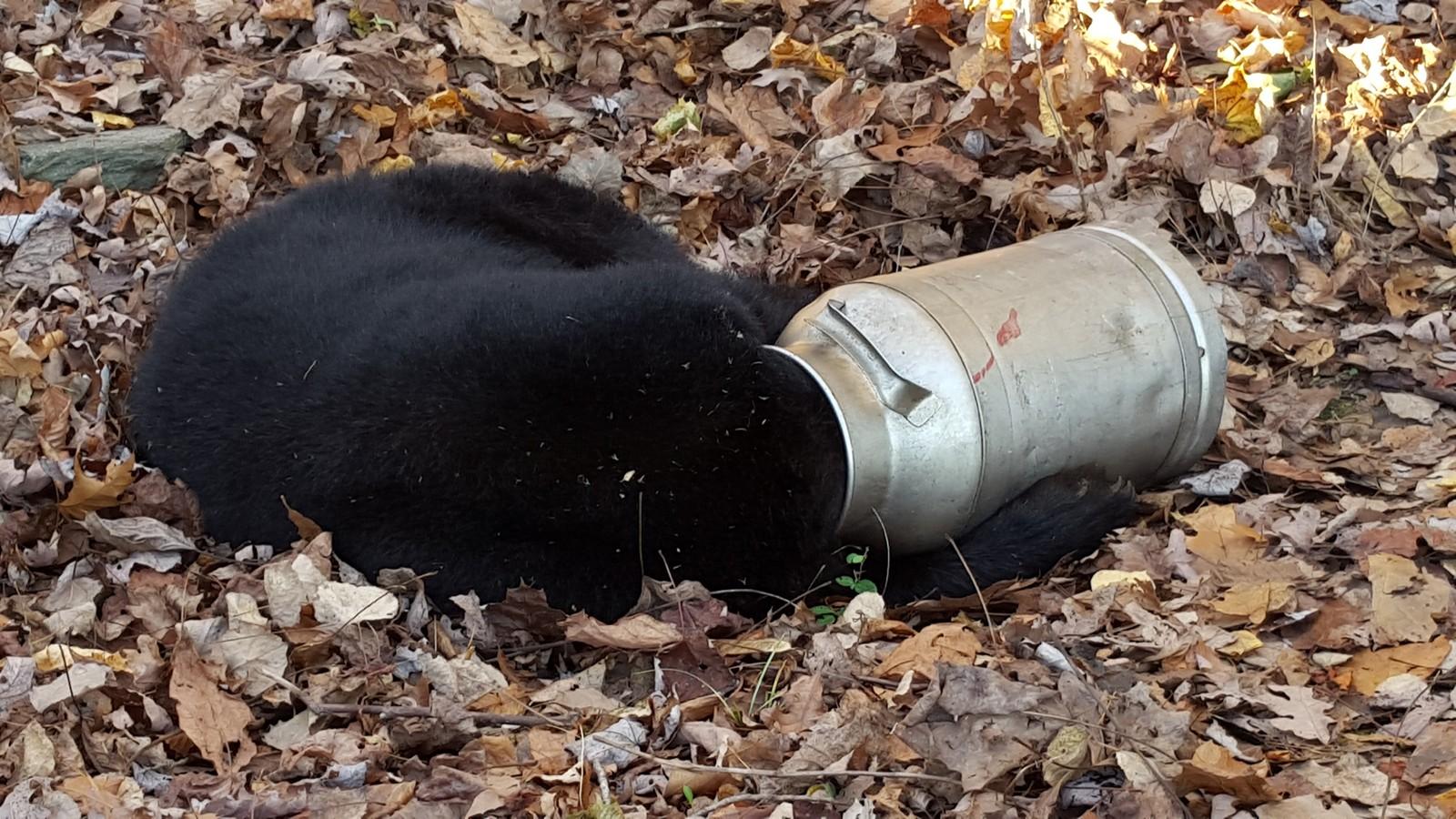 En svartbjørn var sugen på melk da den satte hodet fast i tønna. Amerikanske parkvakter måtte bedøve bjørnen og sage tønna av hodet, før den forlot området tilsynelatende uskadd.