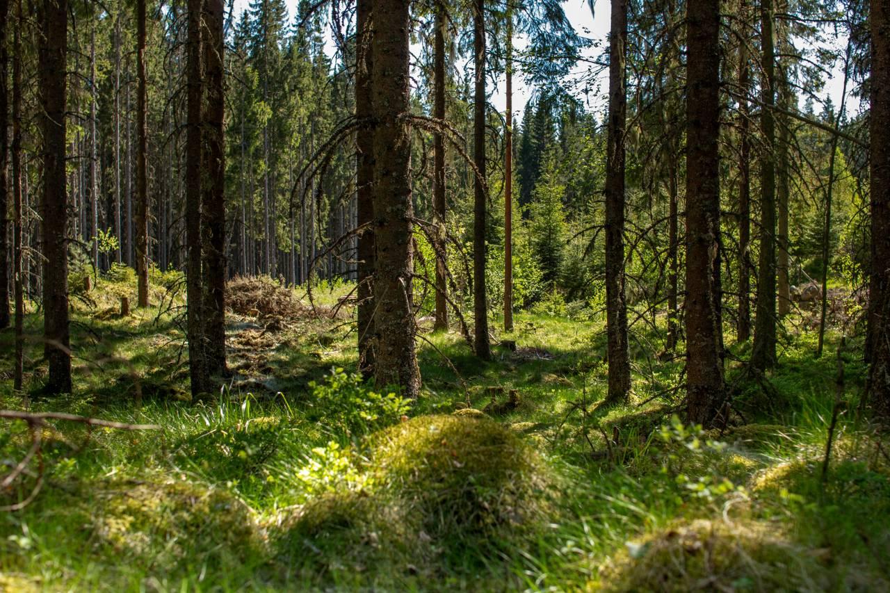 En skog du er vant til å se. Ett treslag tett inntil hverandre. Gress på bakken. Solen skinner gjennom trekronene og lager lysspill på bakken.