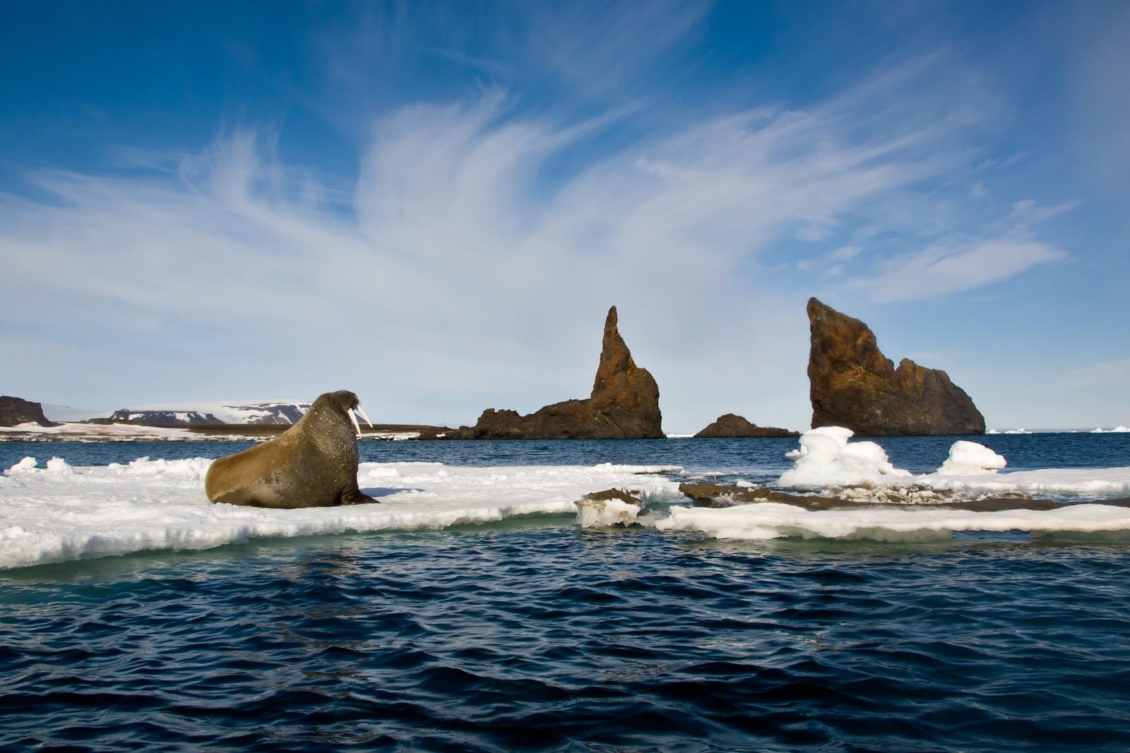 """BERØMT: En hvalross slapper av på et isflak ved Frans Josef Land. I bakgrunnen de berømte """"basaltiske nålene"""" ved Kap Tegethoff. Hvalrossen holder helst til på isflak og migreringsmønsteret tilpasses isens forflytninger. Om vinteren flytter derfor hvalrossen seg sørover med isen, mens den drar mot nord sommerstid."""