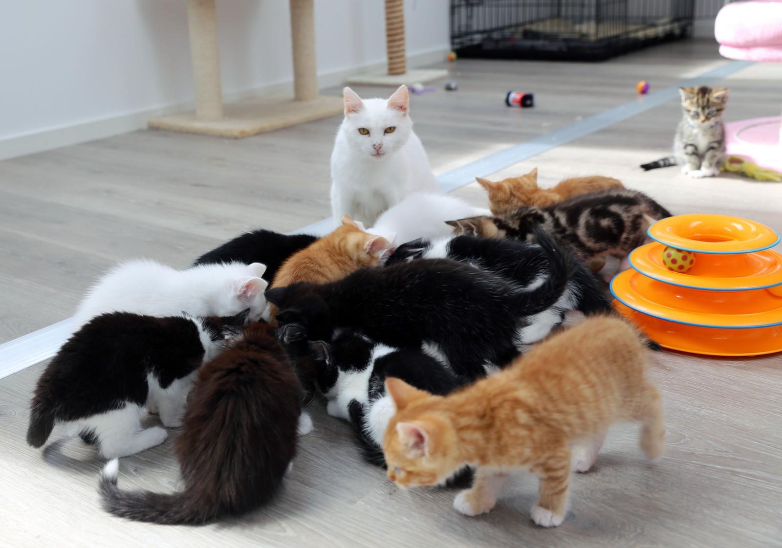 MOR OG DE 13 UNGENE: Kattemor kom inn med tre unger. Raskt tok hun på seg oppdrageransvaret for ti unger til.