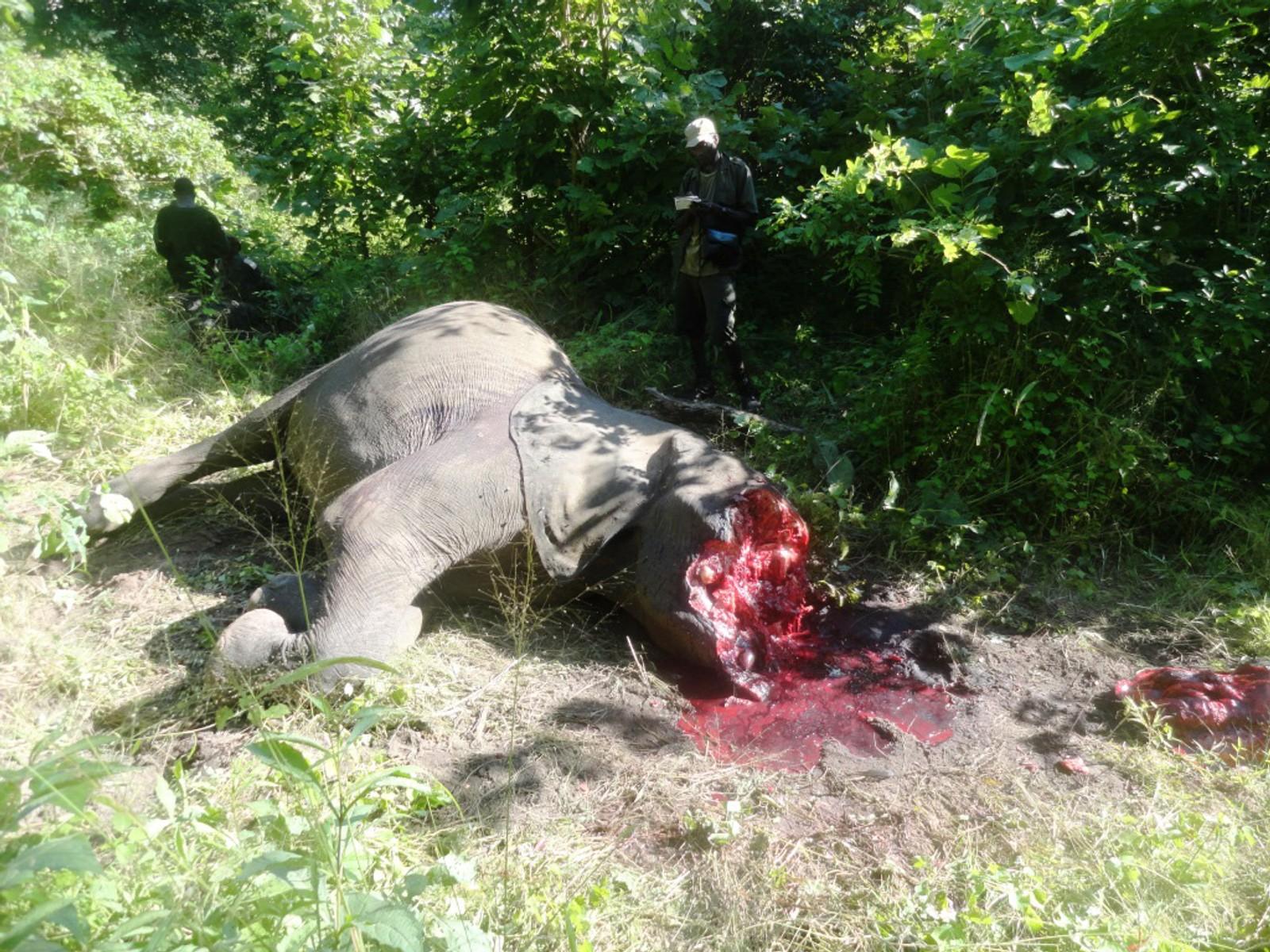 Kongo: Elefant drept av krypskyttere som har tatt støttennene.