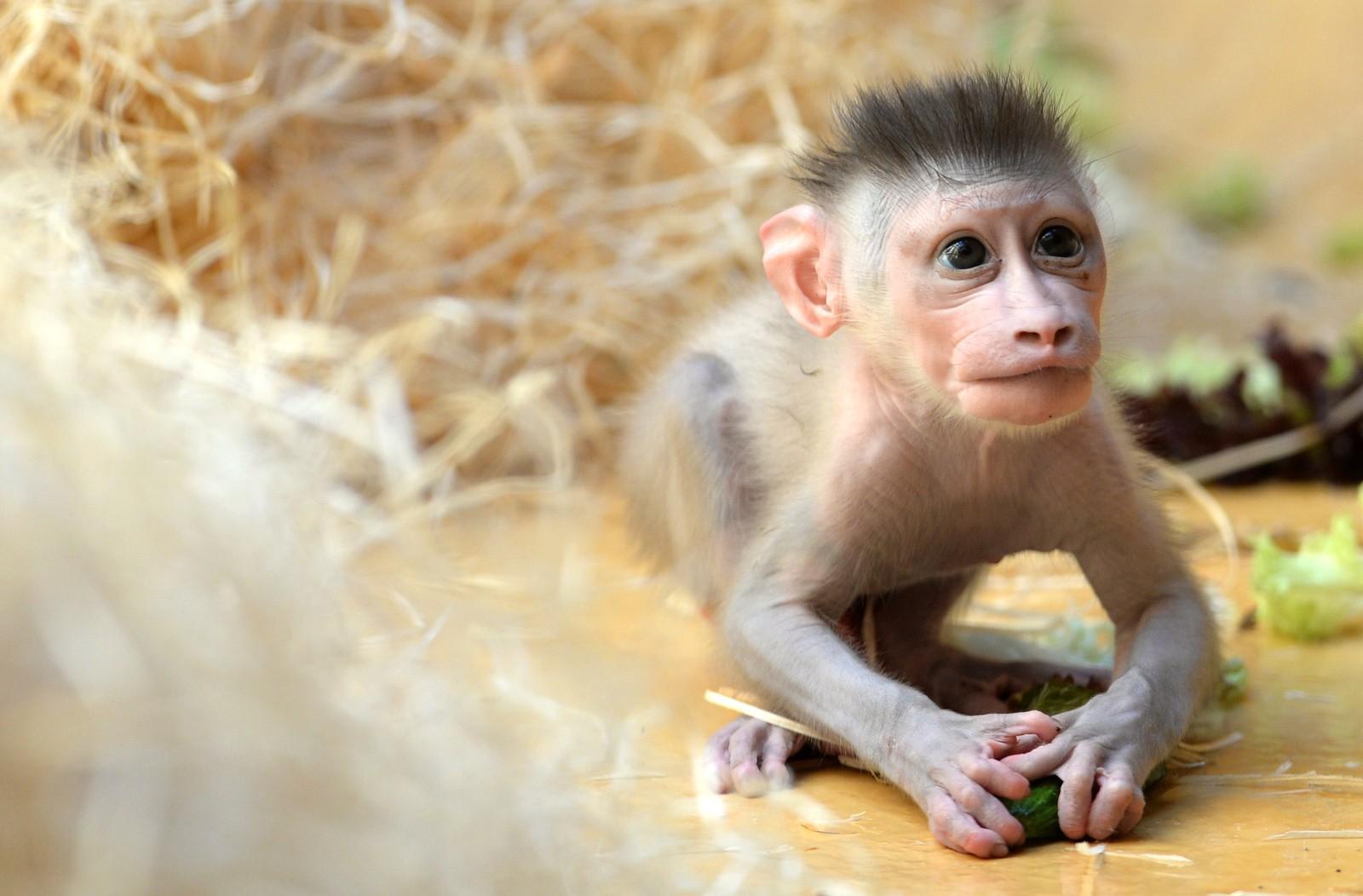 Den lille drill-apen Pinto leker i dyrehagen Hellabrunn i München. Han ble født 24. juni og er den tredje ungen til 10 år gamle Kaduna.