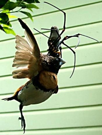 Edderkopp spiser fugl
