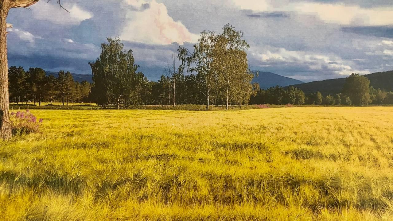 I nord-østerdal med lange kalde vintre er det på grensa av hva som er mulig å dyrke korn. Frøene bruker 4,5 måneder på å  bli modent.