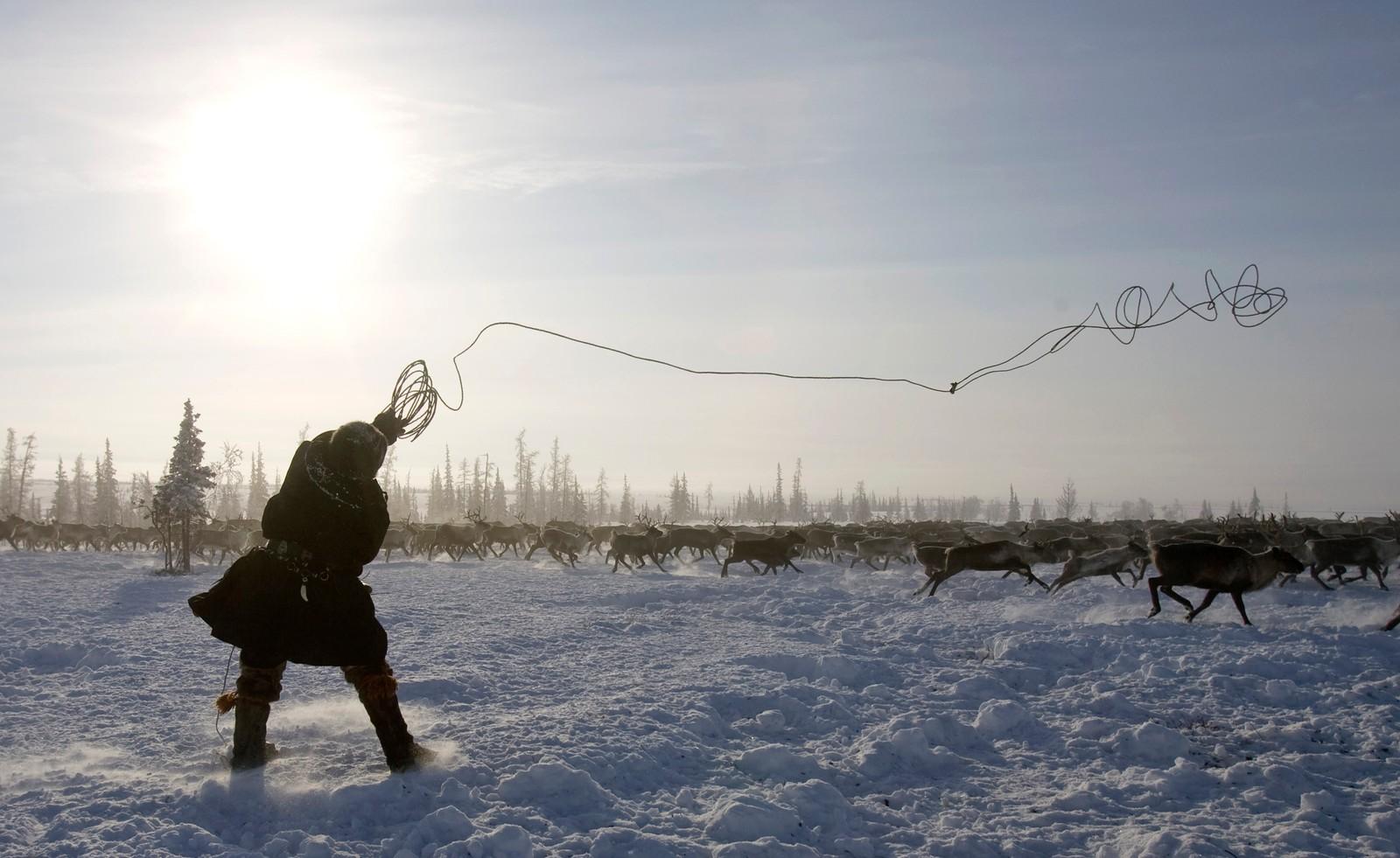 """VERDENS ENDE: Jamalhalvøya er hjemsted for nenetserne og på deres språk betyr """"Jamal"""" verdens ende. Jamalhalvøya har godt bevarte tradisjoner for nomadisk reinsdyrhold. Flere tusen nenetser og khantyer holder om lag 500 000 rein. Noen av de største gassfeltene i Russland ligger i dette området, noen som har skapt konflikter med urbefolkningen."""
