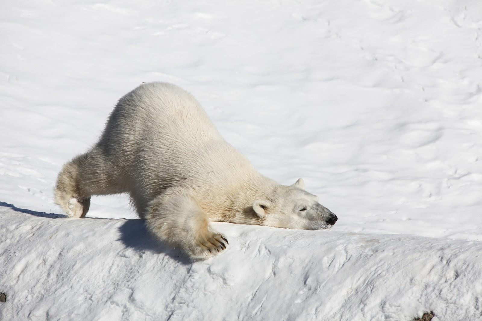 SYMBOL: Isbjørnen er verdens største bjørn og rovdyr, med totalvekt opp mot 800 kg. Bjørnen befinner seg på toppen av næringskjeden og har blitt selve symbolet på klimaendringene i Arktis. Bildet er fra Frans Josef Land.