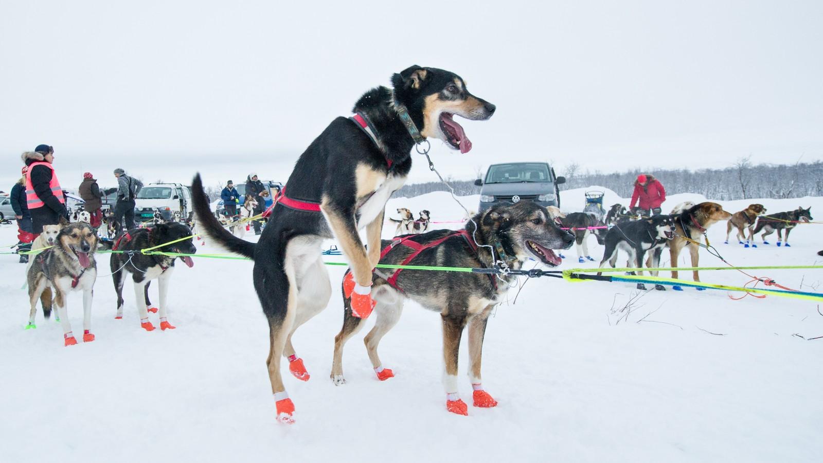 Ivrige hunder var klare for å ta fatt på årets Bergebyløp.