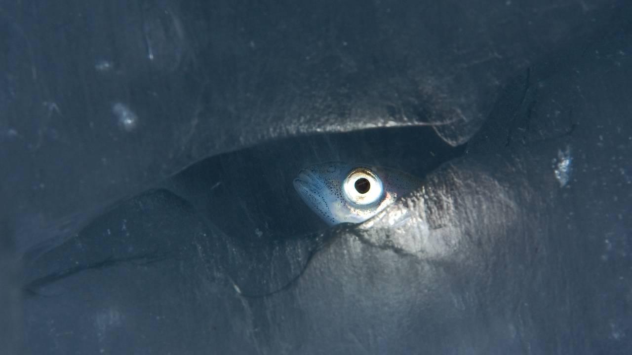 En polartorsk med stort øye kikker frem gjennom et hull i havisen i Barentshavet