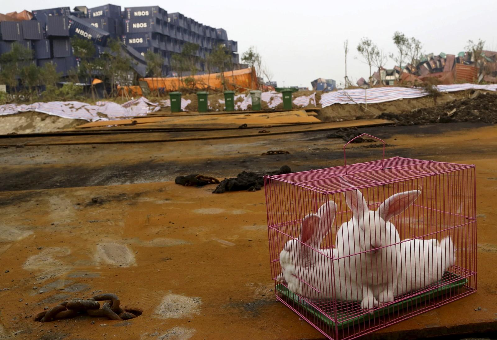 Et kaninbur plassert ut av kinesiske myndigheter nær stedet der den eksplosjonsartede brannen brøt ut forrige uke. Formålet var visstnok å se om området i Taijin var levelig også for mennesker.