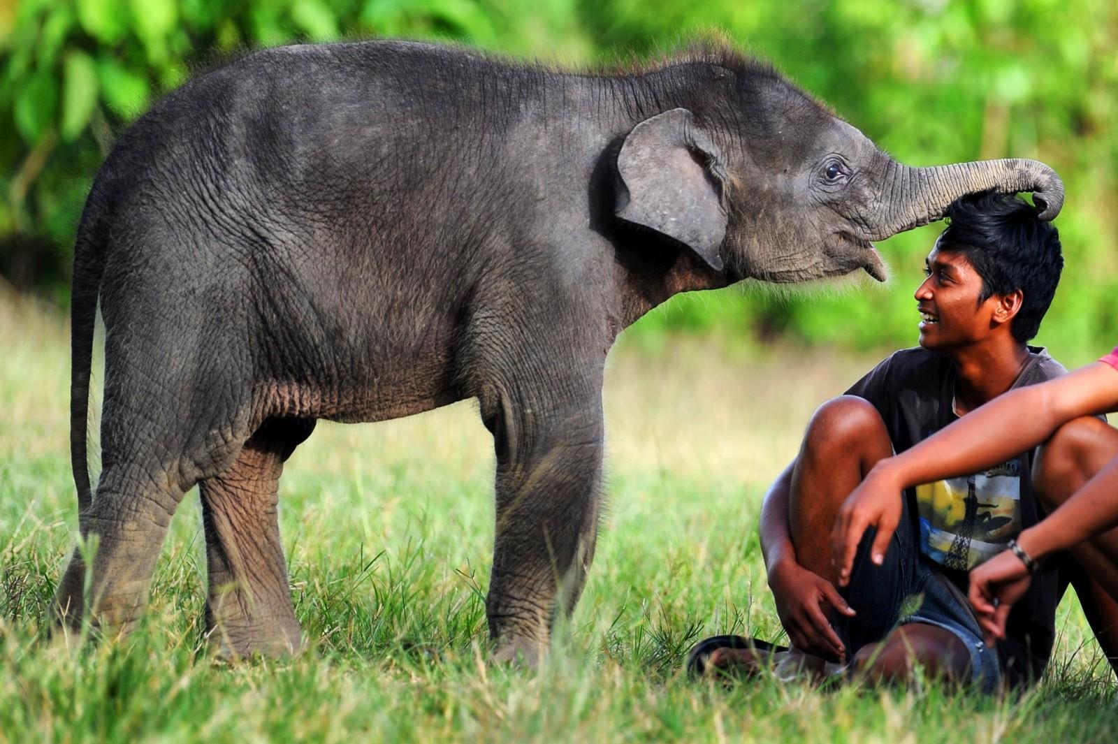 En liten sumatrisk elefant leker med en mahut i et dyrereservat i Aceh i Indonesia. En mahut er en elefantrytter.