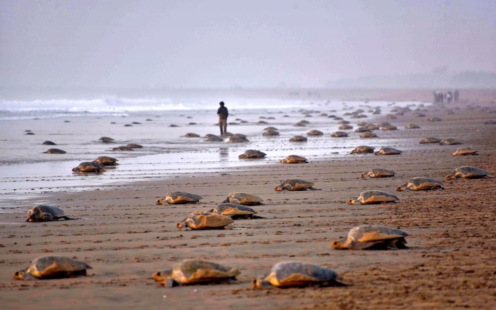 Og her forlater skilpadder Rushikulya-stranden etter å ha lagt egg.