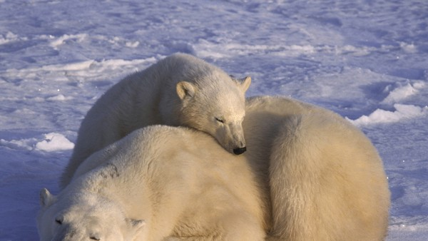 Lær alt om isbjørnen!