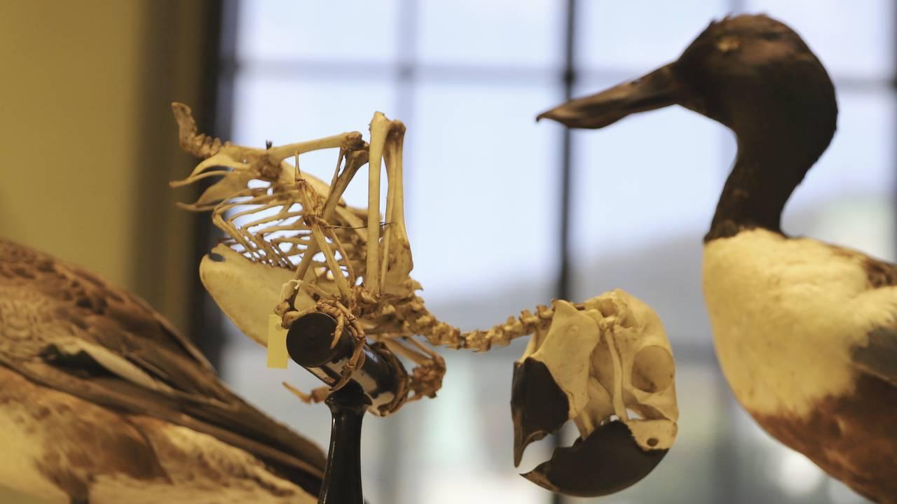 Eit øydelagd papegøyeskjelett og ei pjuskete and på Universitetsmuseet i Bergen