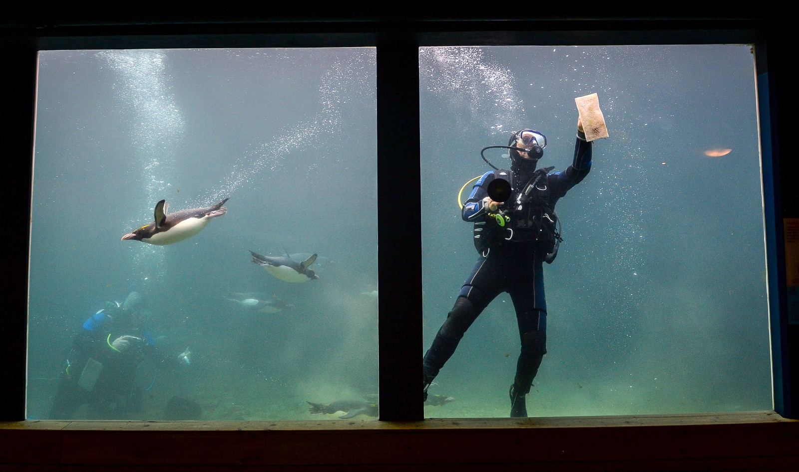 Gulltoppingviner svømmer rundt mens en dykker vasker akvariet til Living Coasts Zoo & Aquarium i Torquay i England.