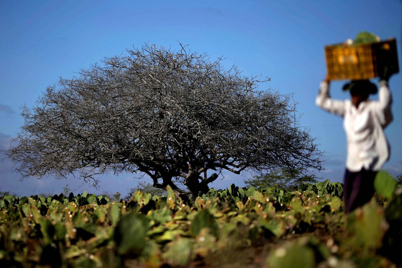 En bonde jobber på en kaktusplantasje i Pocinhos i Brasil. Innbyggerne i området er i ferd med å gå tomme for vann etter flere år med tørke.