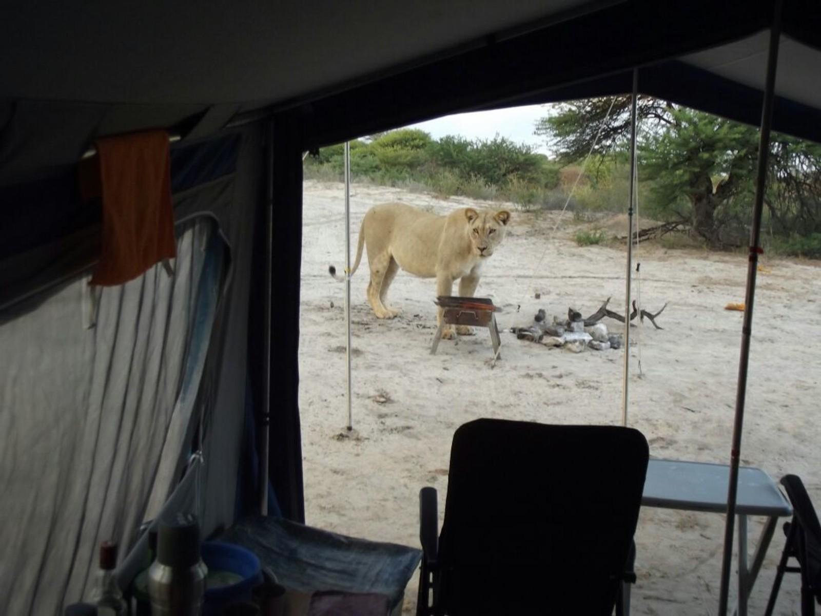 Fransie Lubbe våknet til løver som slikka dugg av teltet hennes i nasjonalparken Kgalagadi Transfrontier Park denne uka. (NB! Søk Lions licking water off a tent, hvis du vil se video av den noe spesielle morgenstunden:)
