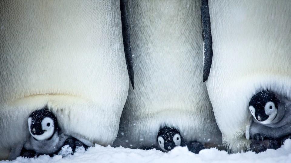 Pingvinens eventyrlige reise