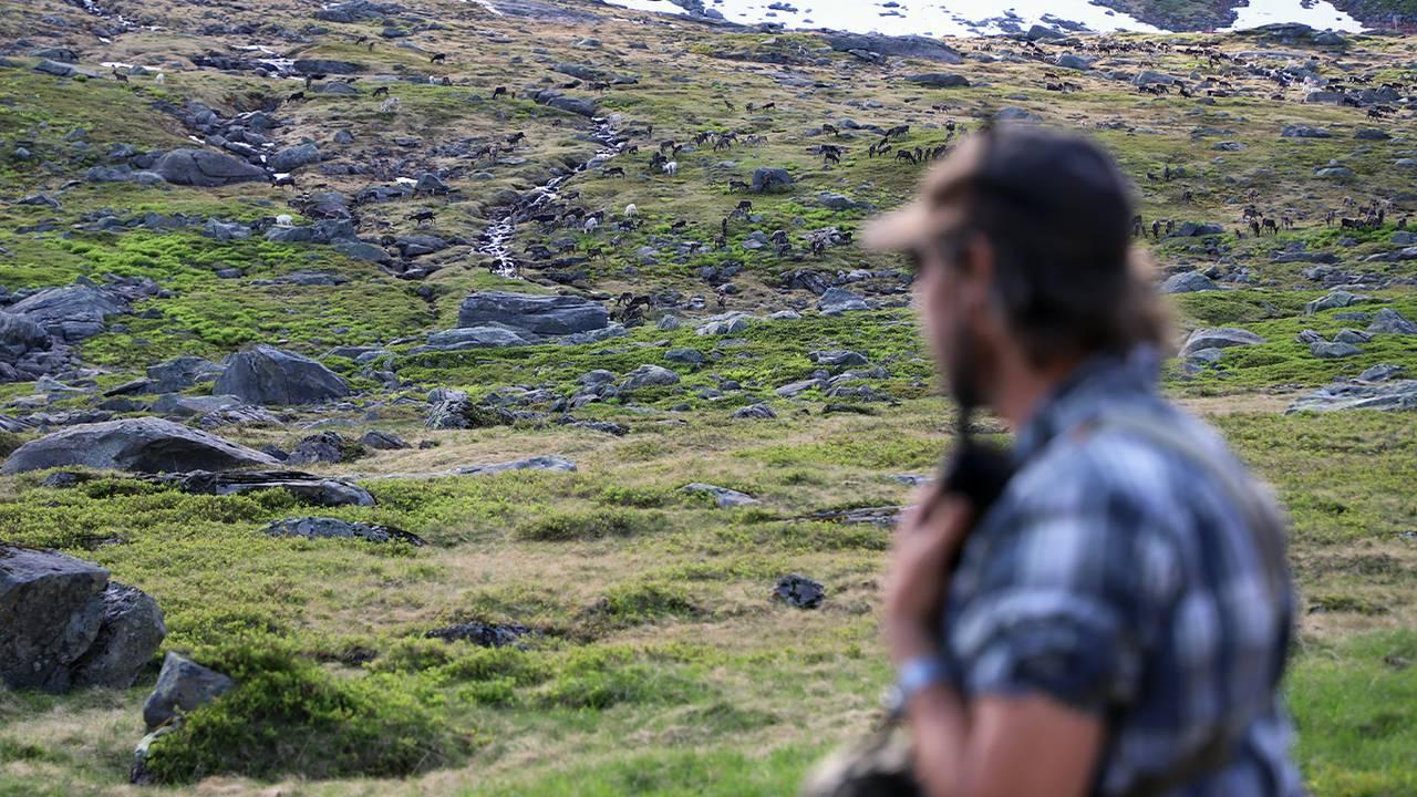 Jan Edvard Pavall prater på walkie-talkien for å guide reinen inn i reingjerdet
