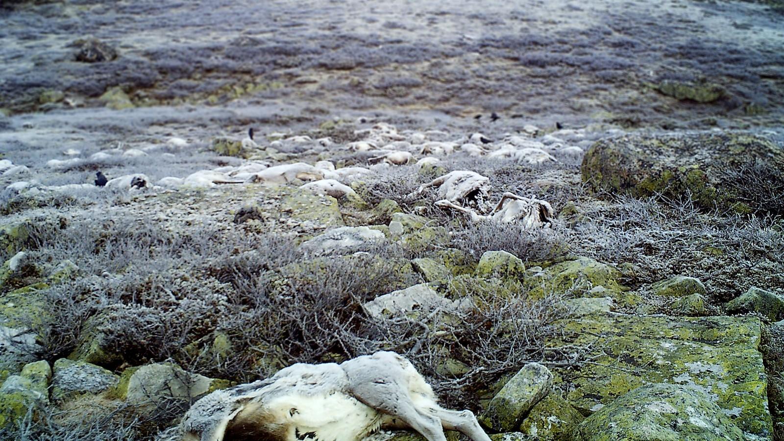 Over 300 reinsdyr ble drept av lyn på Hardangervidda i slutten av august i år. Her er kadavrene 2. oktober 2016.