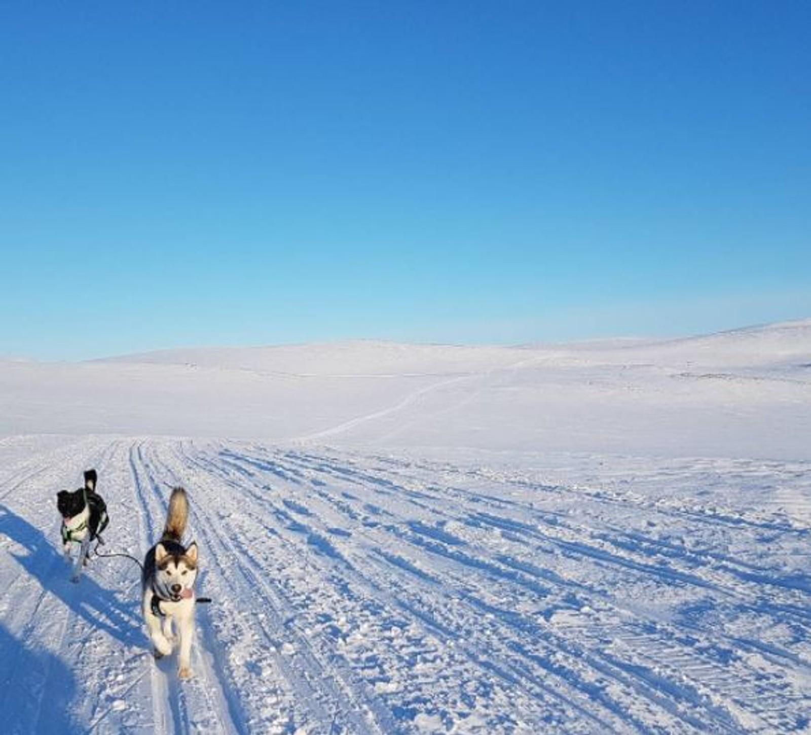 Hundene Arja og Paal på tur over Svartfjellet på Kvaløya i Finnmark.