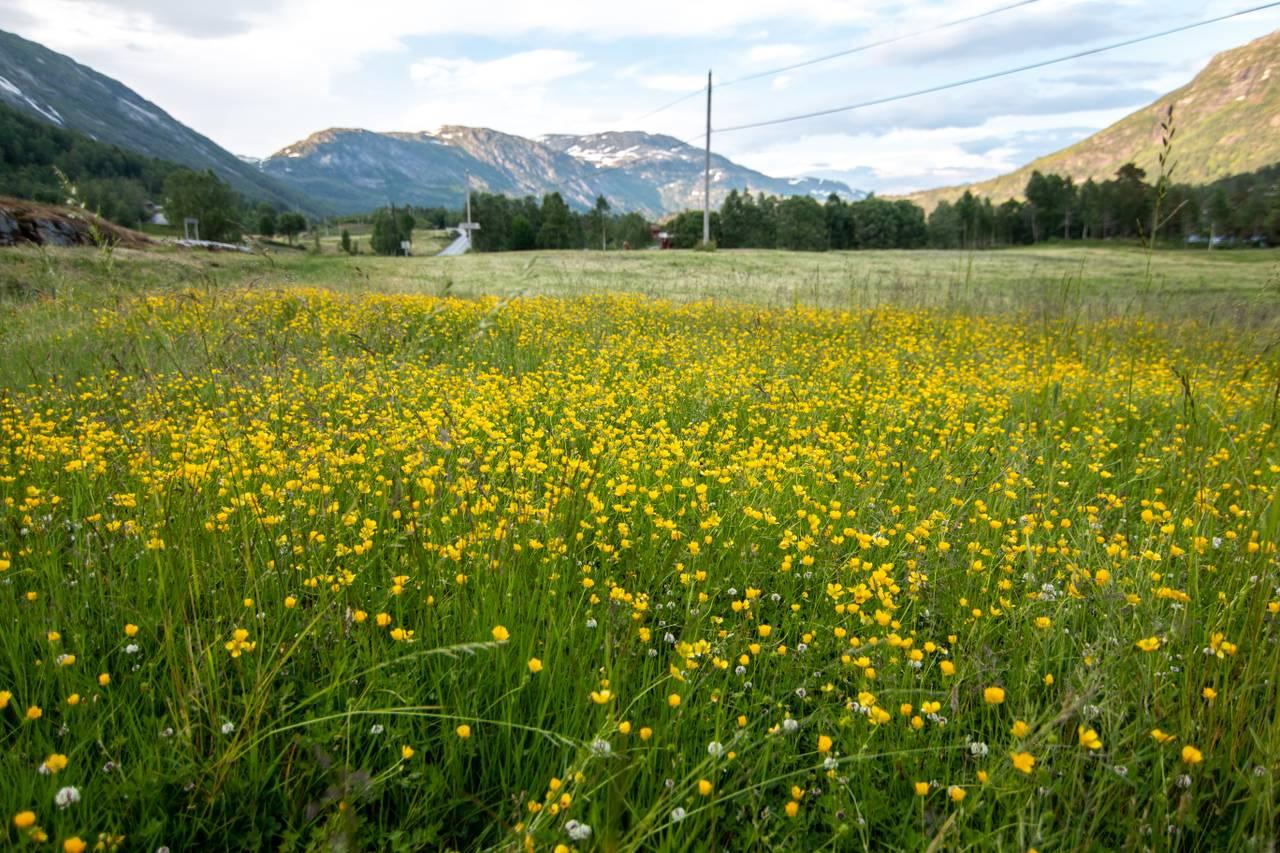 En stor blomstereng som brer seg utover. Vestlandsfjell ruver i bakgrunnen.
