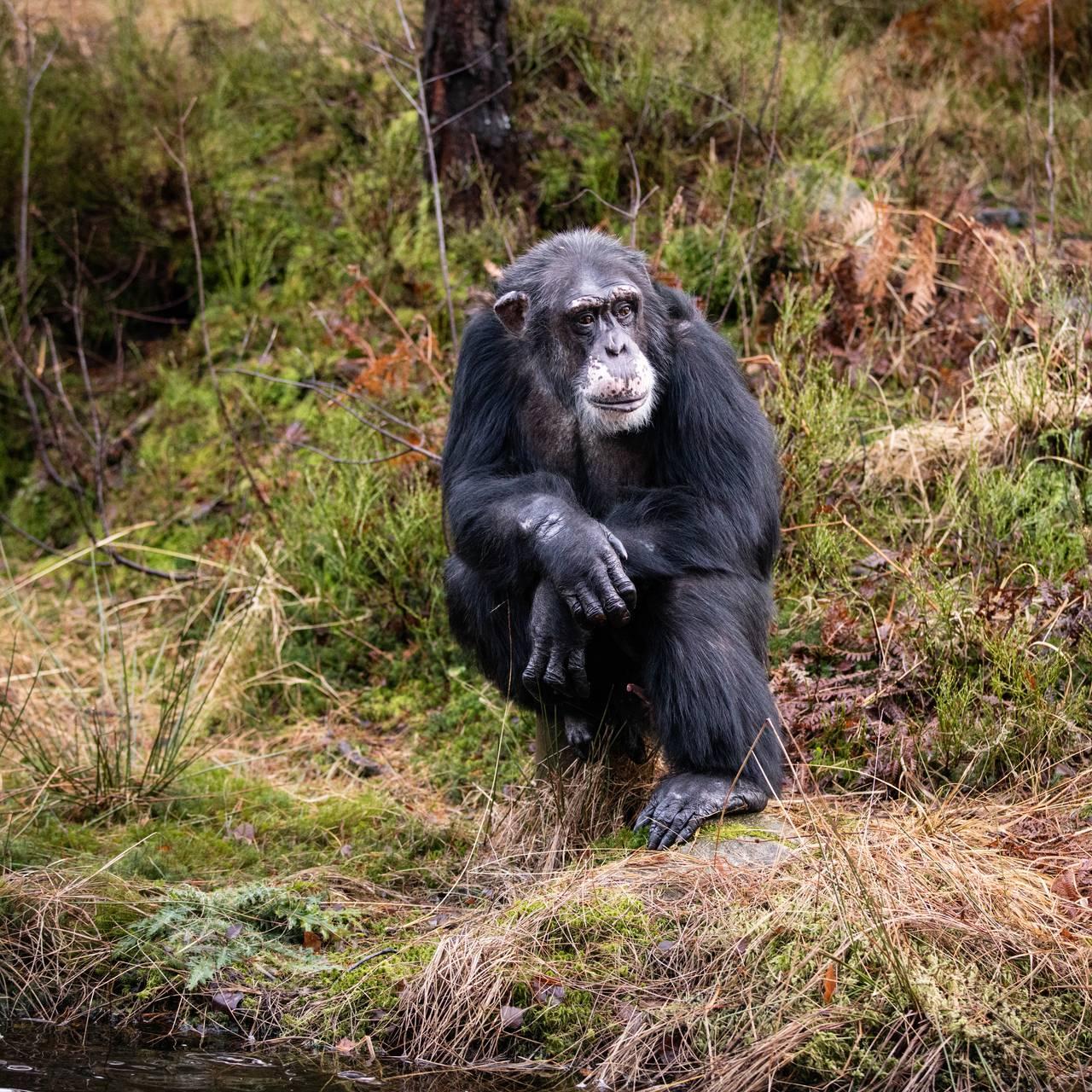 Sjimpansen Julius i Dyreparken i Kristiansand