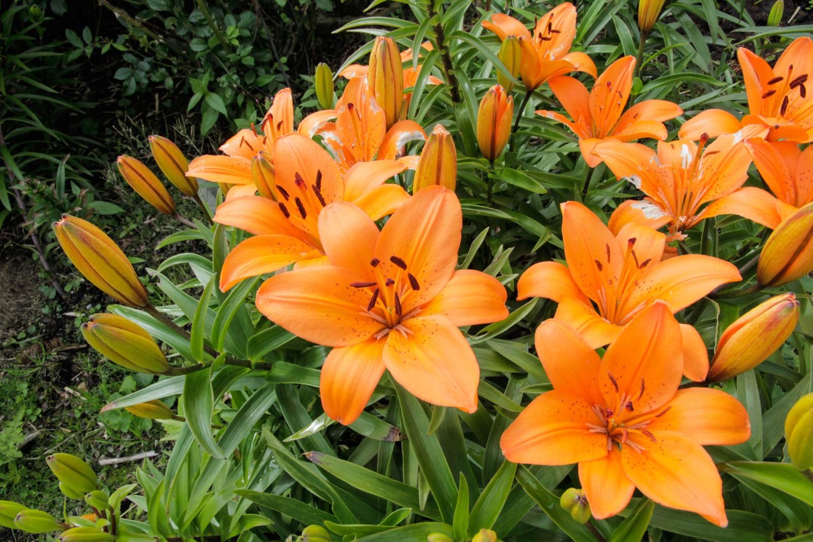 Dagliljene blomstrar berre ein dag. I morgon kjem det nye.