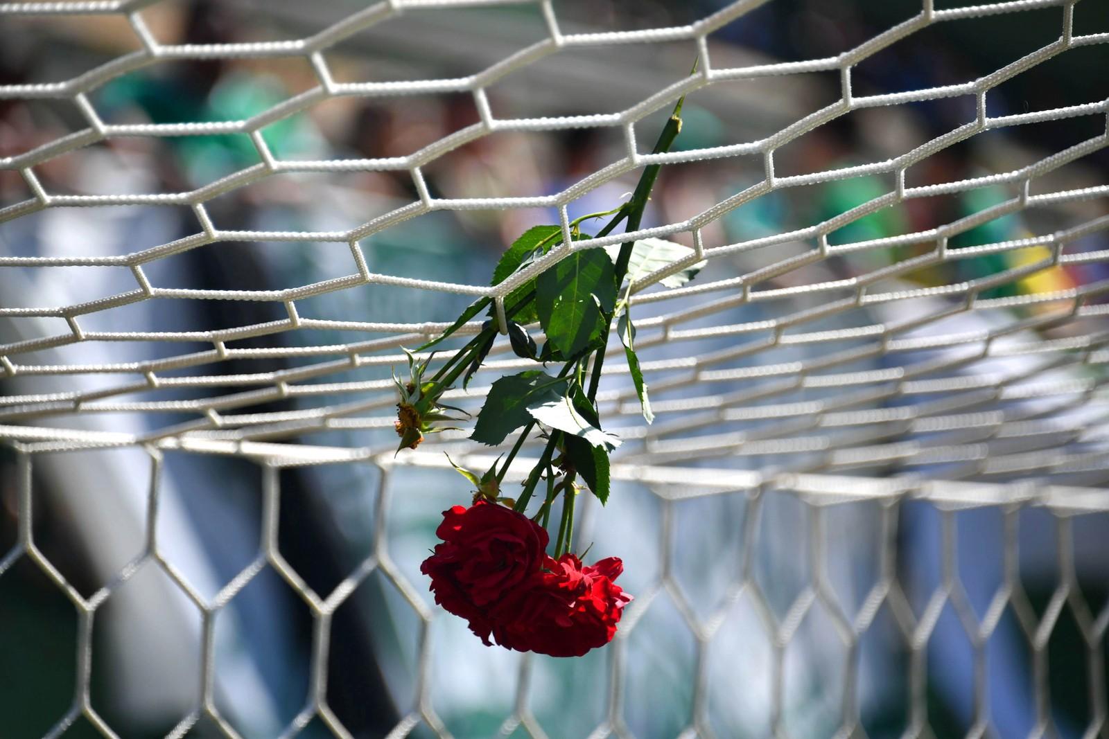Denne rosen henger i nettet til minne om de brasilianske fotballspillerne fra Chapocoense Real som døde i en flyulykke i de colombianske fjellene. Bildet er tatt i hjemmearenaen i Chapeco, sør i Brasil.