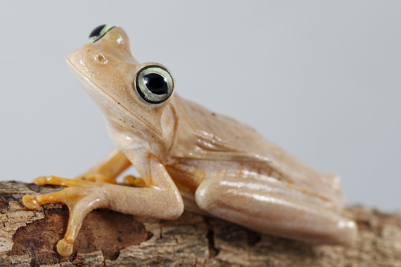 En frosk av arten Hypsiboas crepitans avbildet i Caracas, Venezuela. Frosker og padder er utrydningstruet på grunn av klimaendringene. Varmere vær kompliserer reproduksjonen og sprer dødelig sopp, ifølge forskerne.