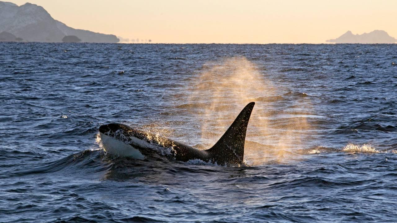 Spekkhogger (Orcinus orca). Hann som blåser vann fra pustehullet.