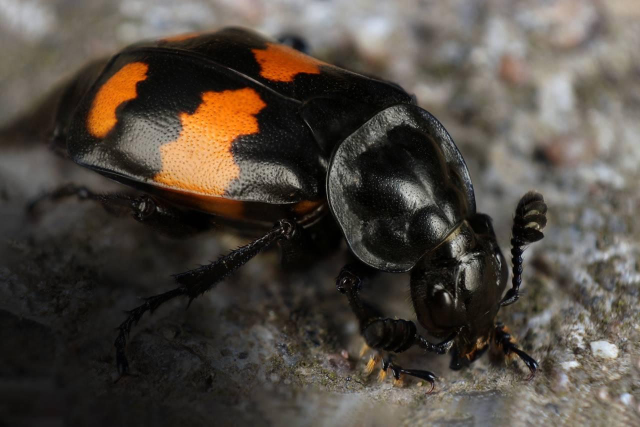 Åtselgraveren er to eller tre centimeter stor. Den er nesten helt sort, med noen oransje striper på bakkroppen. Den har store klubbeformede antenner som gjør at den har god luktesans. Bena er kraftige