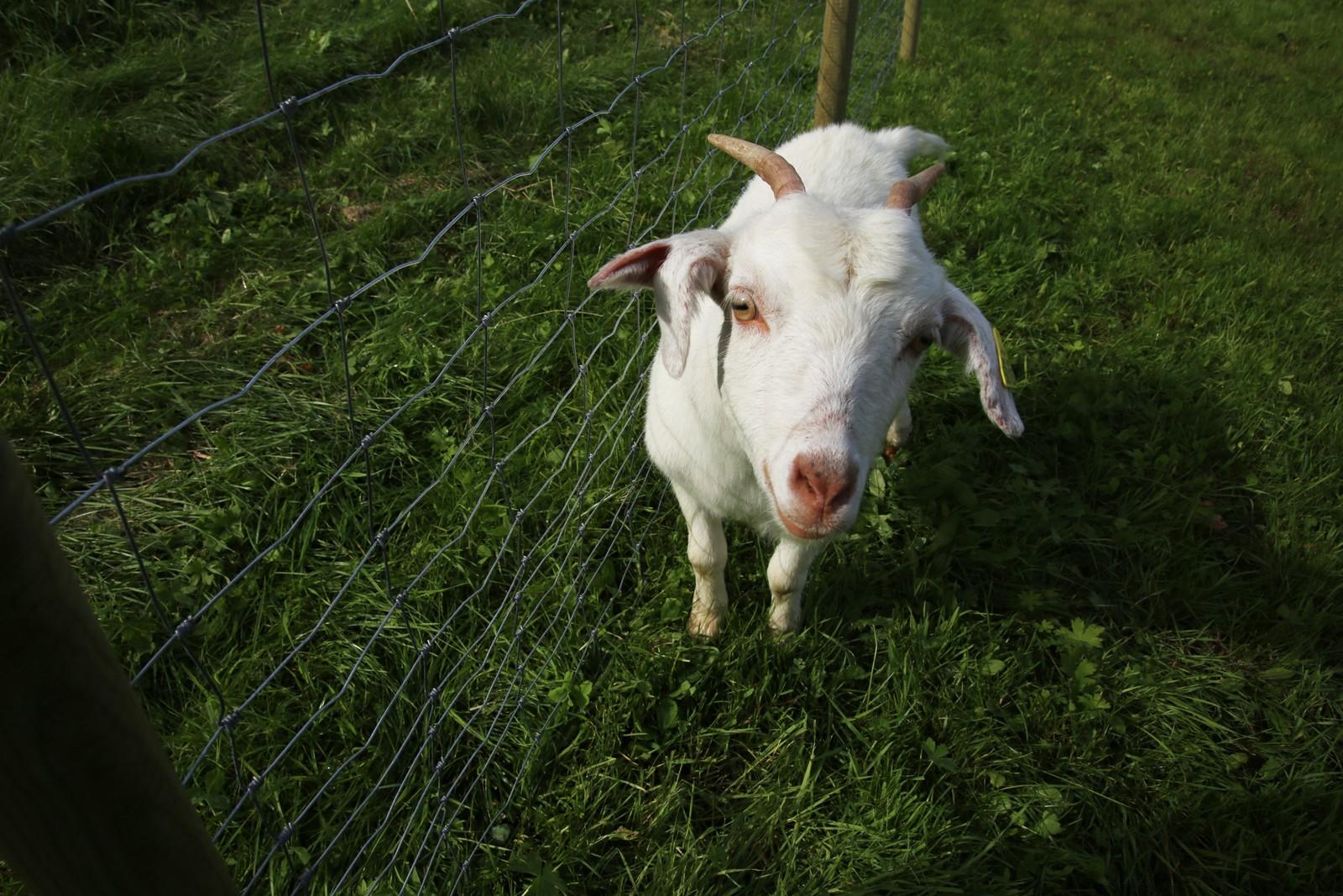 Man kommer tett på de 92 dyrene som er på gården. De har villsau, geiter, griser, gjess, høner, katter, hunder, islandshest og kaniner.