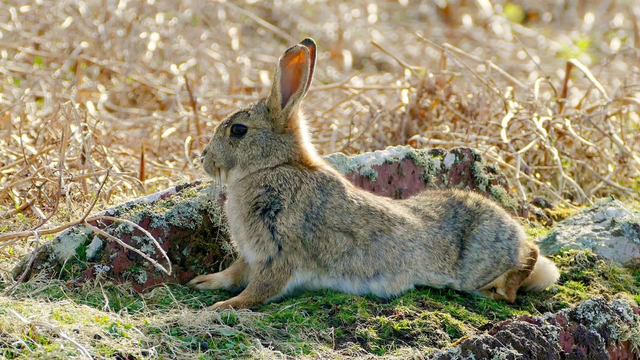 Kanin på Skokholm i Wales
